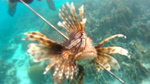Lionfish Spear 2